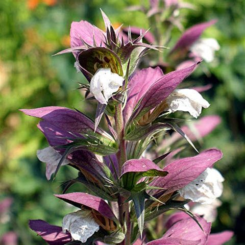 Acanthus beplanting